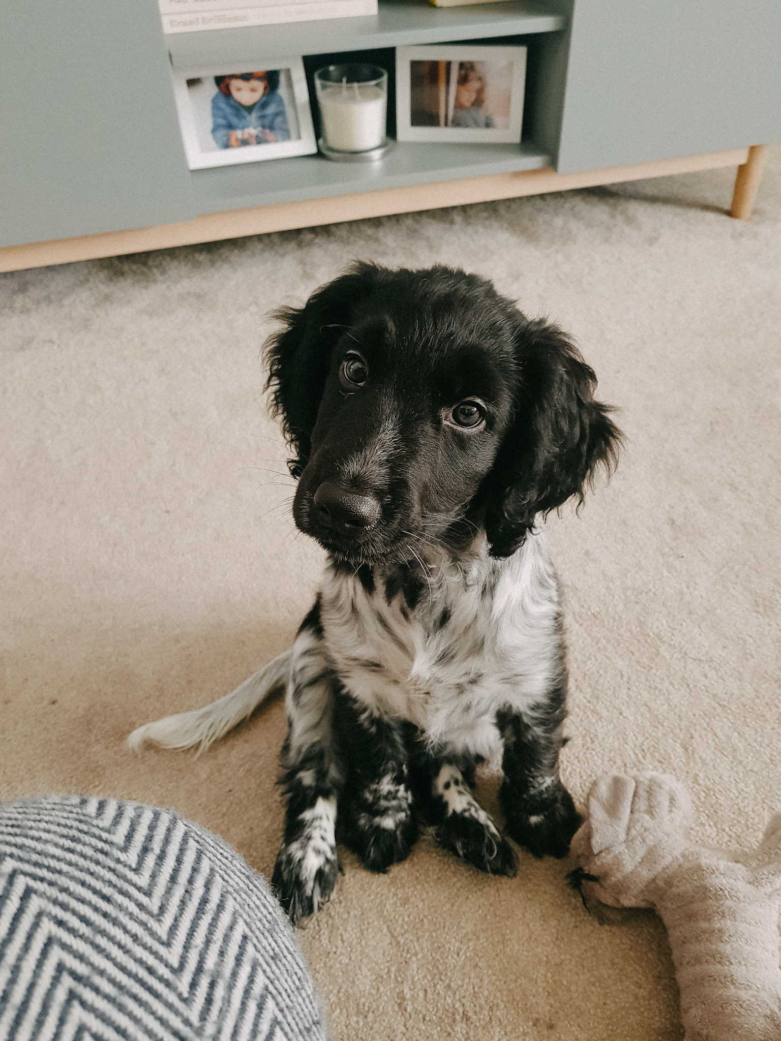 Blue the Cocker Spaniel Puppy